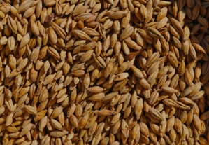 The beauty of barley. Pic: Valley Malt.